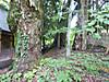 P1020056maemiyagoshinboku